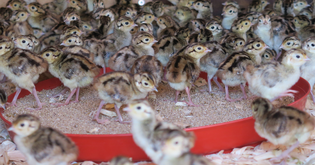 Chick Starter Feed Tray