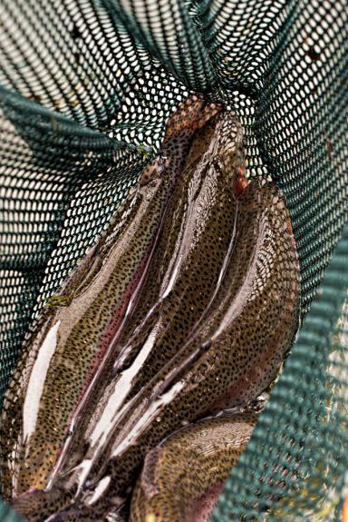 Rainbow trout in green golf mesh net
