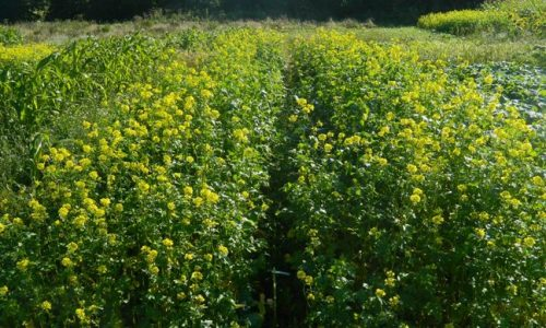 Game Cover Crops- Collins Nets
