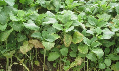 Game Cover Crops - Collins Nets