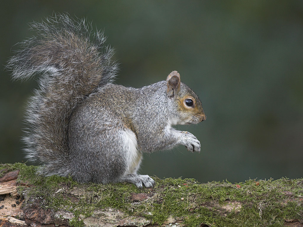 Grey Squirrel Population Control Uk Collins Nets