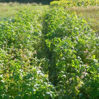 Gamestay Traditional Cover Crop – per acre pack