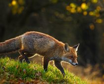 Fox. Vermin control.