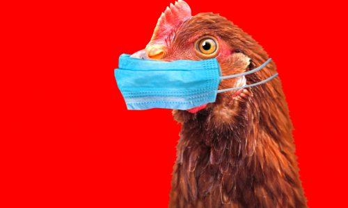 Bird Flu Chicken