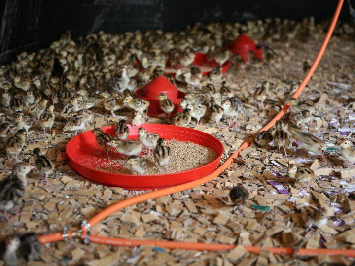 Pheasant chicks. Game rearing supplies.